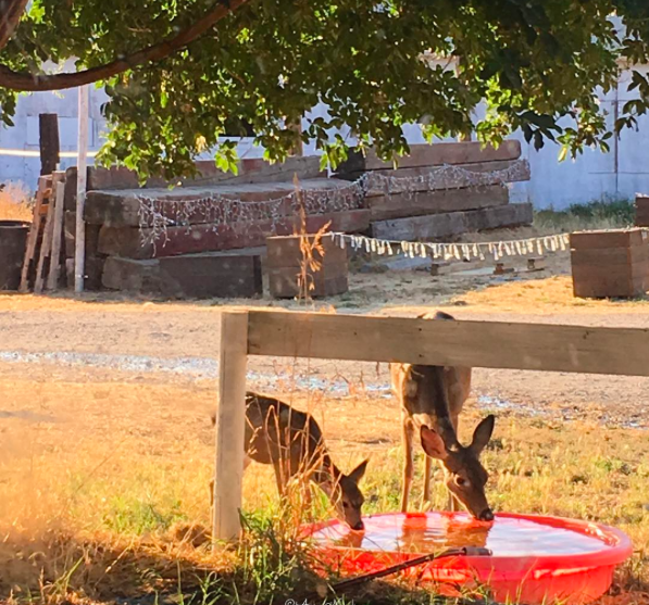bryerly fawn drinking water low res